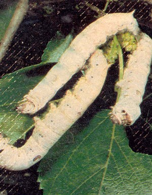 Photo:Photograph of silkworms