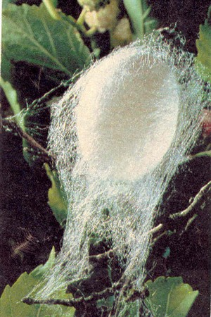 Photo:Photograph of silk cocoon