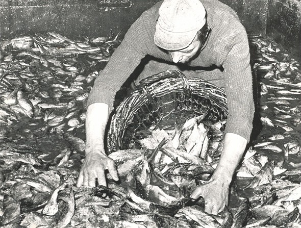Photo:Fisherman unloading the herring into a cran basket